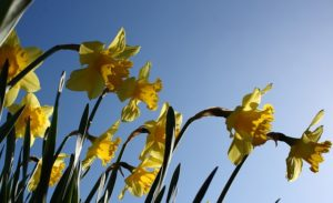 Glorious daffodils in the bright sunshine. A perfect match, like your copy should be with your reader.